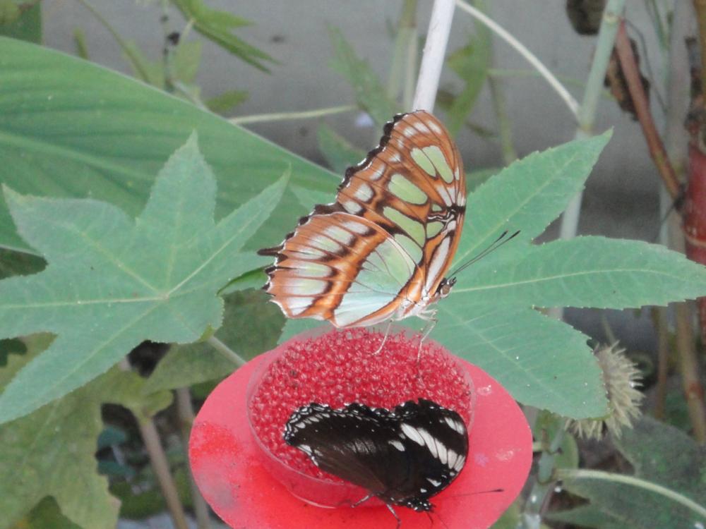 Papillon vu de profil