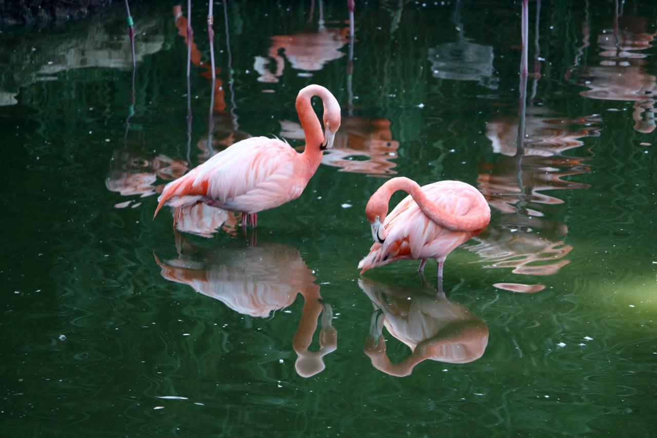 Deux flamants roses dans l'eau