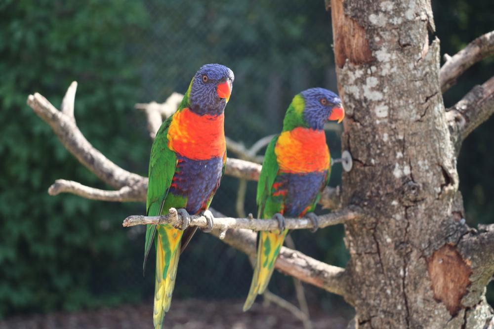 Photo de deux perroquets sur une branche