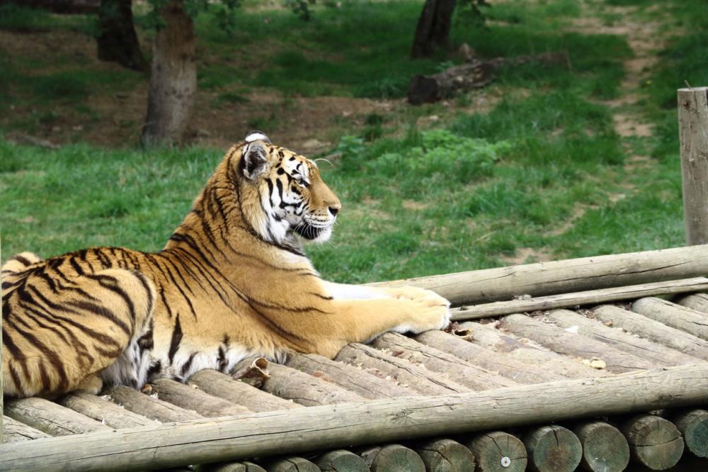 Un tigre qui dort