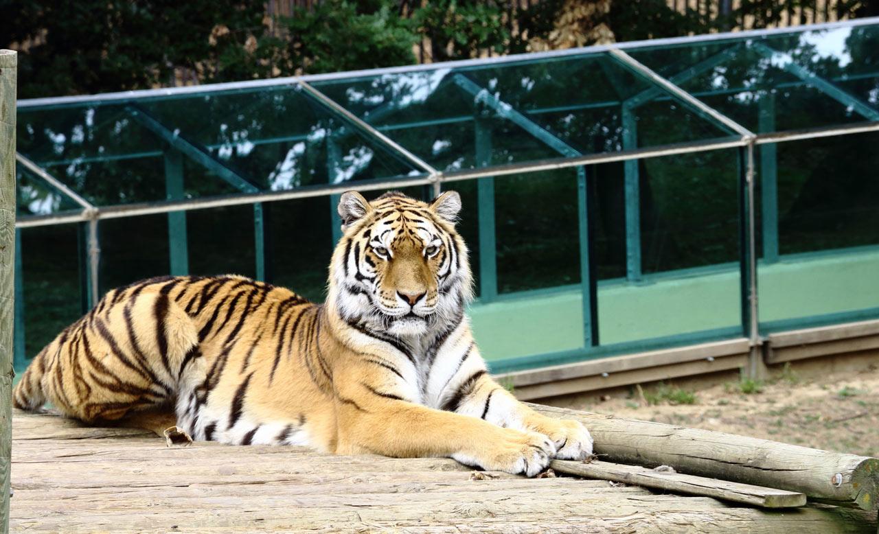 Photographie d'un tigre majestueux
