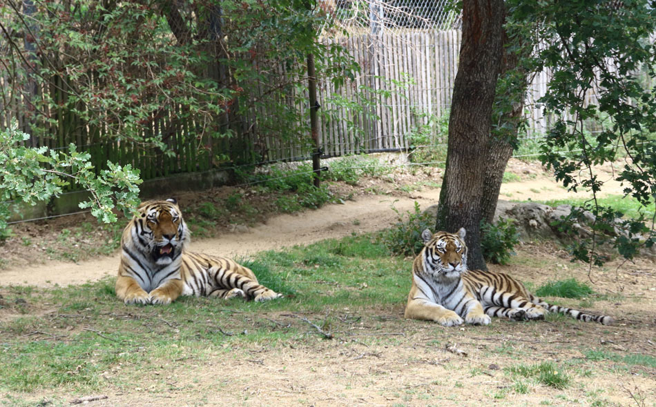 Deux tigres en pleine sieste