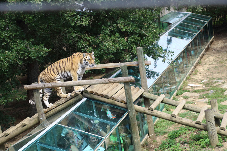 Le tigre traverse le pont