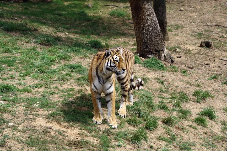 Le tigre dans sa cage