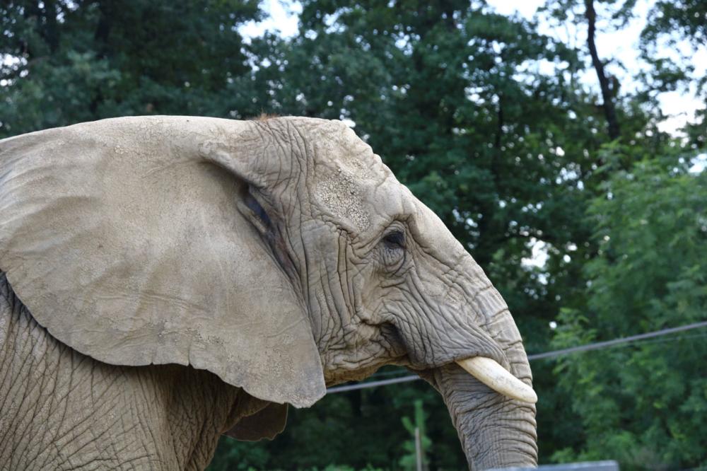 Profil d'un éléphant
