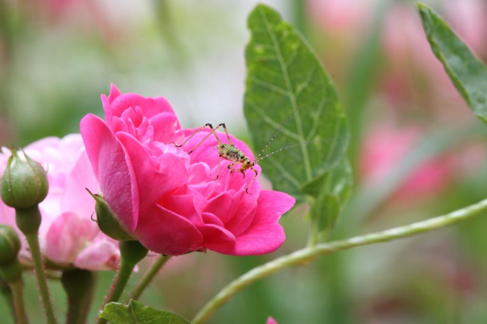 Une sauterelle sur sa fleur