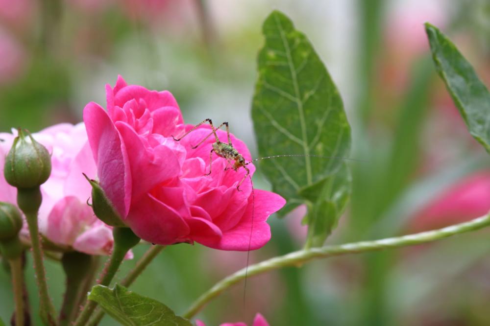 Photo d'une sauterelle