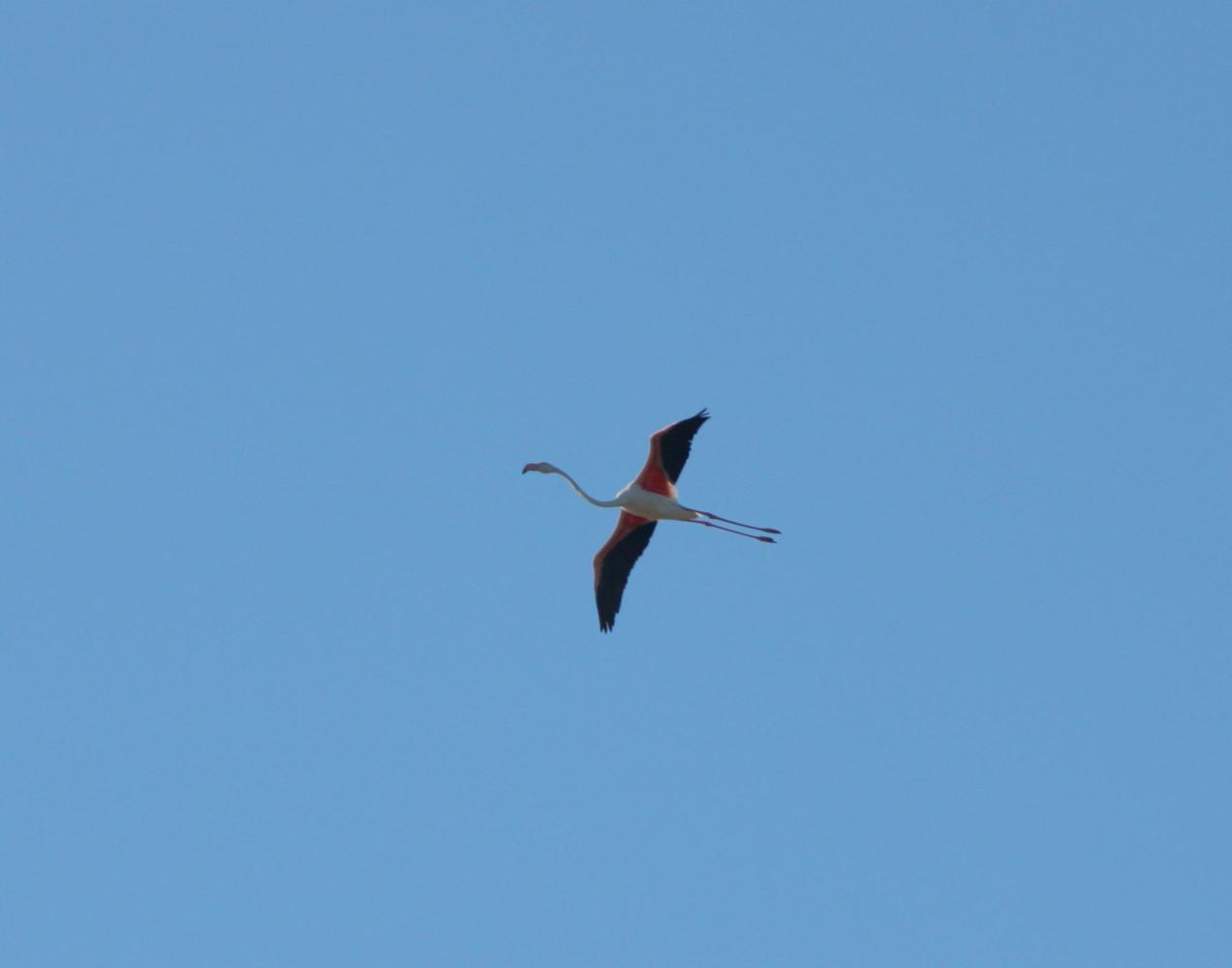 Photographie du vol d'un flamant rose