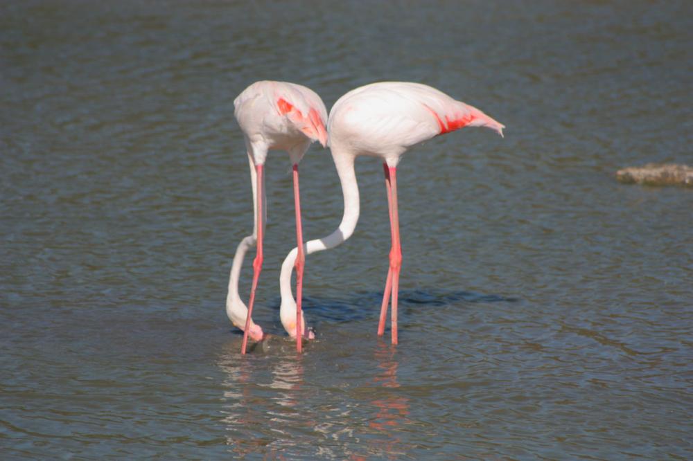 Photo de deux flamants rose les pieds dans l'eau