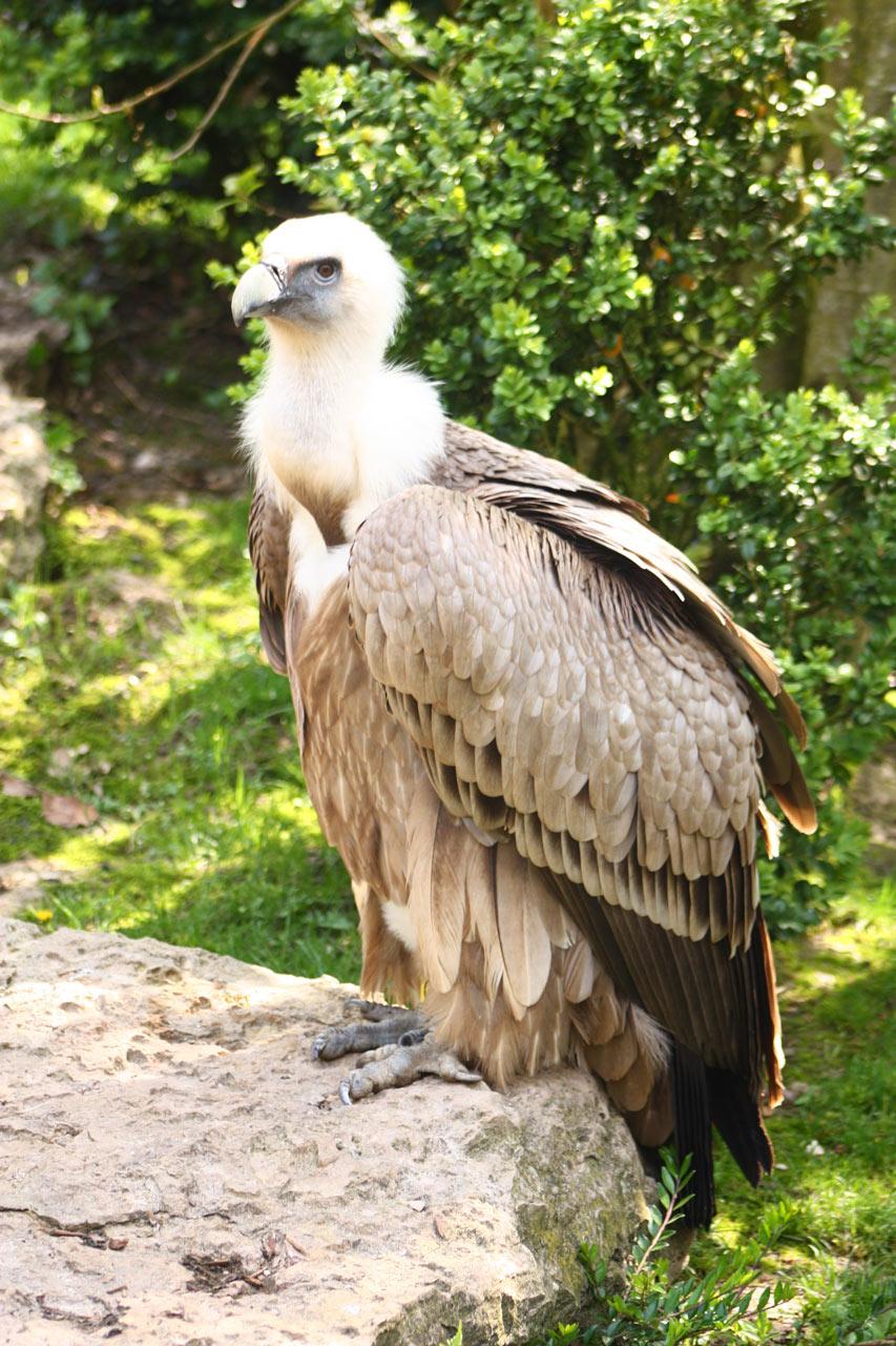 Photo d'un vautour zu sol