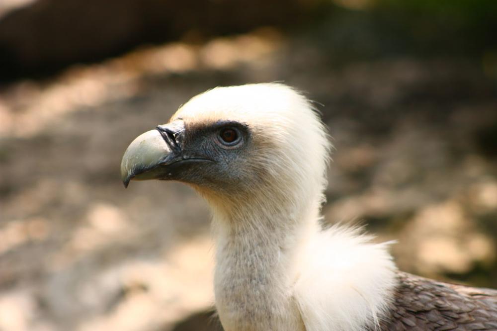 Photo portrait d'un vautour