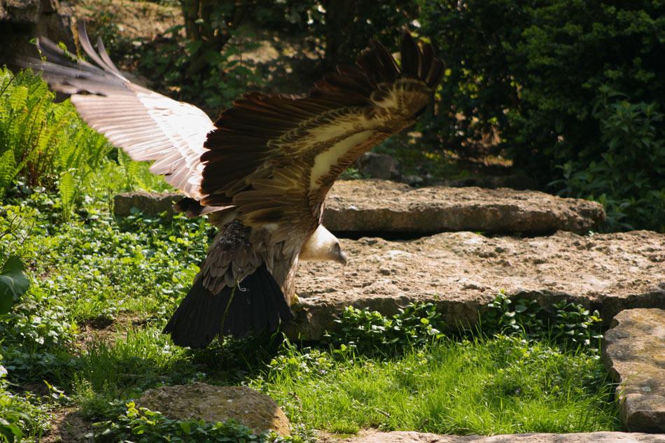 Photo d'un vautour en plein atterissage